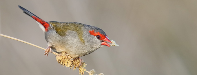 Red-browed_Finch_4F5A7632_Jerra_680x260