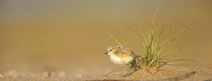 Red-capped_Plover_chick_B14X3826_Tathra_pano2_680x260