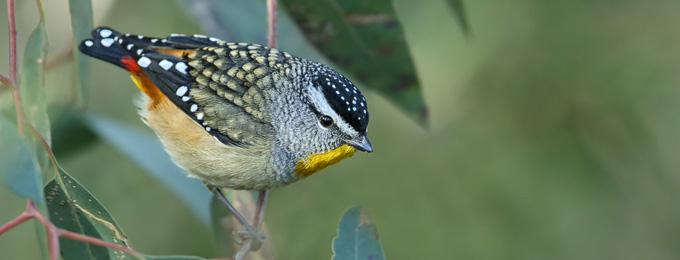 Spotted_Pardalote_B14X0578_Canberra_2_680x260