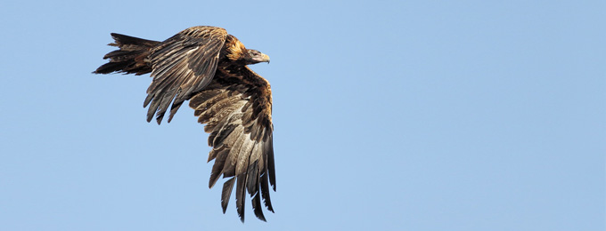 Wedge-tailed_Eagle_MG_8134_Queanbeyan_2_680x260